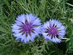 紫花ナデシコ