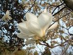 白モクレンの花