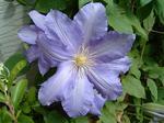 薄紫の花のクレマチス