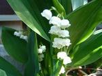 かわいいスズランの花