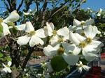 春の主役ハナミズキ白花
