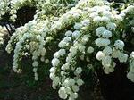 雪のような純白のコテマリの花