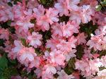 明るいピンクのツツジの花