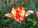 黄色と赤のパーロット咲きフレミングパーロット