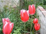 春の赤いチューリップ