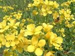春の菜の花畑
